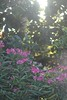 Photo Challenge: 227/366 Oleander