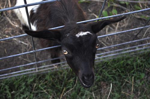 Black and White Goat