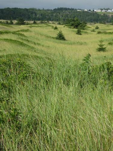 Rolling Dune Grasses, PEI