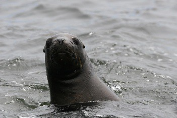 Swimming with sea lions in Peru with Nature Expeditions (6)
