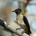 Small photo of African Red-eyed Bulbul: Pycnonotus nigricans