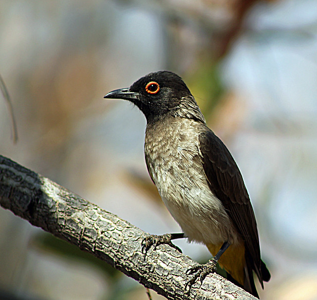 Header of African Red-Eyed Bulbul
