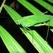 Small photo of Green Katydid (Tettigoniidae)