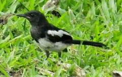 animal, fauna, beak, eurasian magpie, bird,