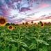 Sunflowers and Sunset
