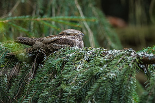 European Nightjar taking a nap