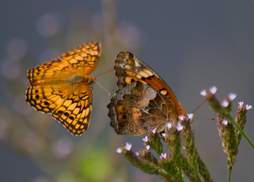variegated fritillary pair