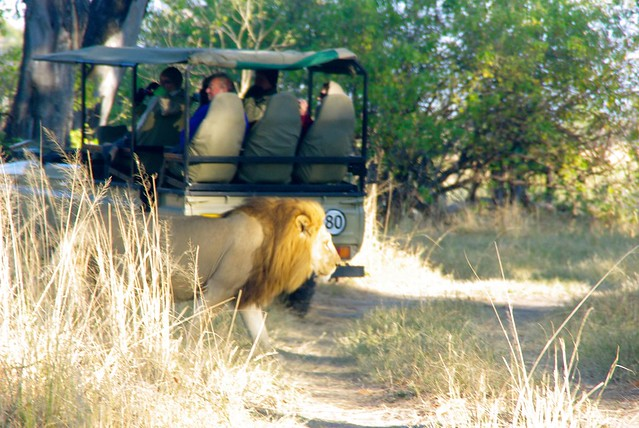 Lion in moremi game reserve, botswana, africa