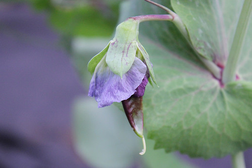 Purple pea pod