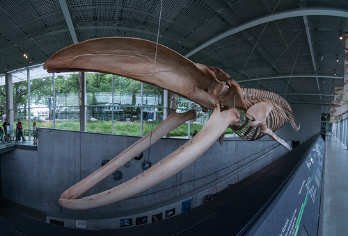 Beaty Museum of Biodiversity - Blue Whale skeleton