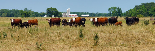 Cows and farm in Wisconsin