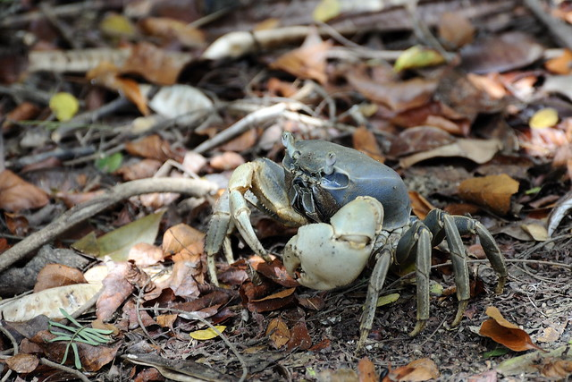 Puerto Rico Land Crabs http://www.flickr.com/photos/benth0s/7614861382