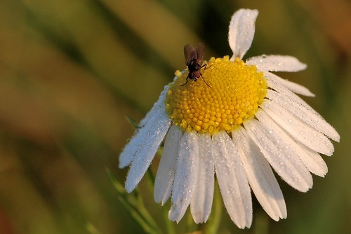 Chamomile, dew drops and a fly