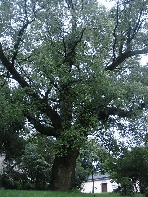 诸暨中学600年的老榕树,后面是校史馆