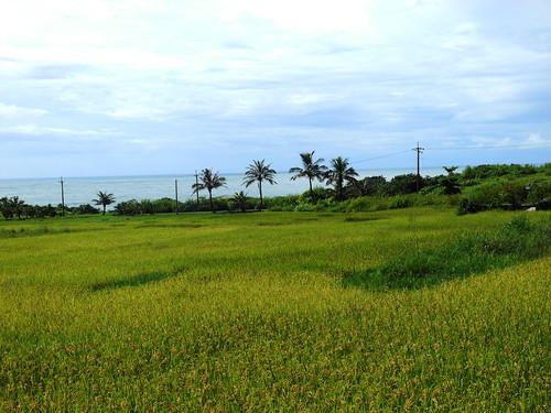 花蓮豐濱石梯坪這兩年逐漸復育的水梯田,每到夏季,收割前金黃色的稻穗呼應著海浪,構築出當地獨特美學。