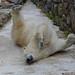 Qannik und Blanche - Eisbärengymnastik in der Monde Sauvage Safari in Aywaille