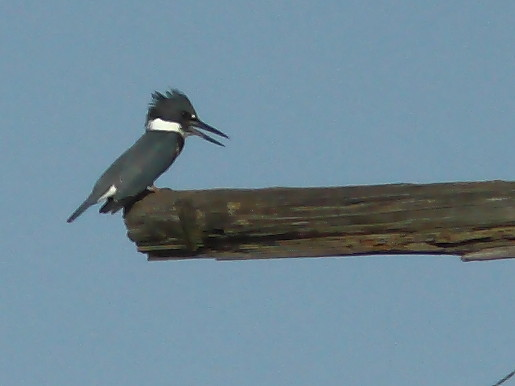 Belted Kingfisher first of season 20120731
