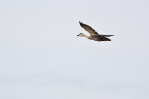 Chinese Spot-billed Duck