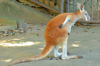 Image of アカカンガルー near Hino. zoo 動物園 tamazoo tamazoologicalpark 多摩動物園