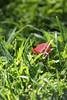 197/366 Red Leaf in Grass