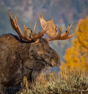 North American Moose