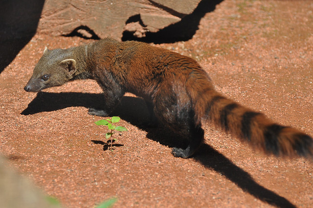 Ring-tailed MongooseRing Tailed Mongoose