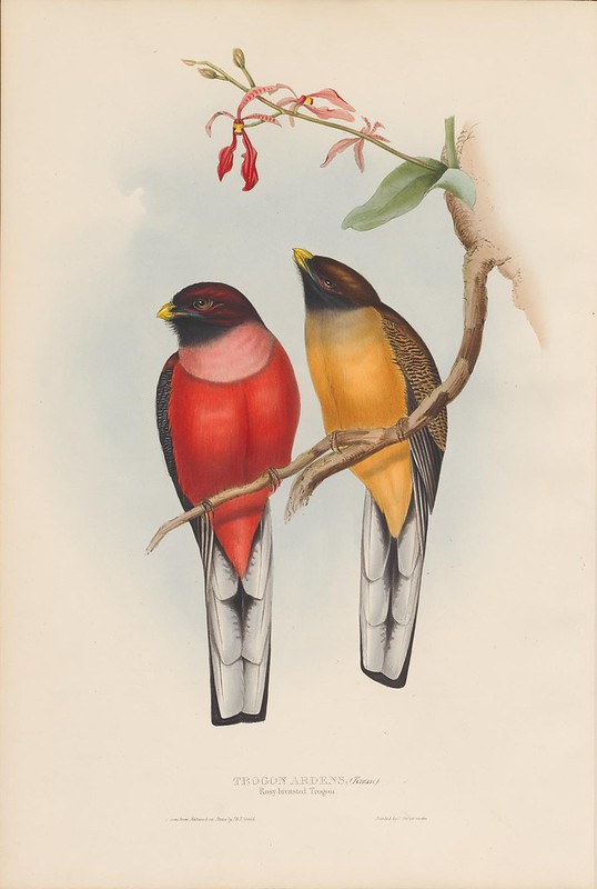 1830s ornithological book lithograph by John Gould