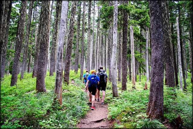 Hikers under the Hemlock Canopy en route to McNeil Point - Mt. Hood