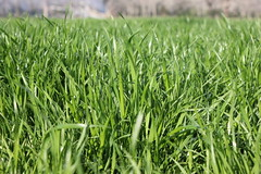 Brazos Valley Grass