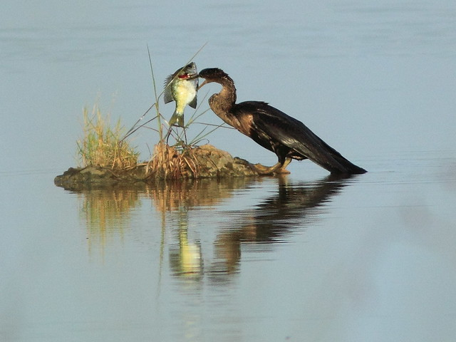 Anhinga with sunfish 02-20120808