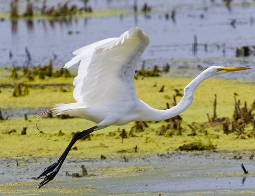 Great Egret Fly-By by Ricky L. Jones Photography
