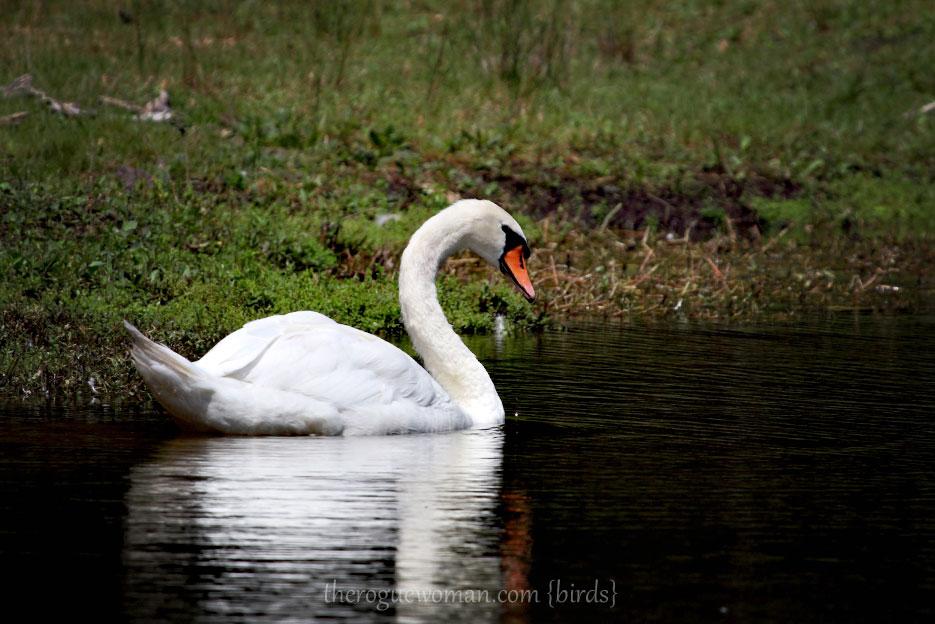 072612_03_bird_muteSwan2