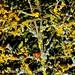 lichen, doré, beaujolais, pierres dorées, oingt, by tamycoladelyves