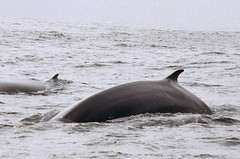 Bryde whale - Whale and dolphin watching in Peru with Nature Expeditions