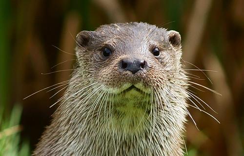 無料写真素材, 動物 , 哺乳類, カワウソ