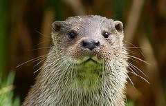 [フリー画像素材] 動物 1, 哺乳類, カワウソ ID:201208201000