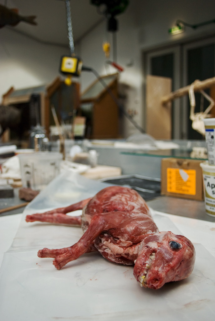 This piglet was freshly skinned and being prepared for use in a display.