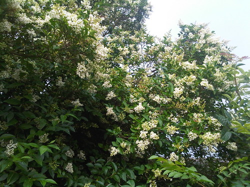 Privet flowering Aug 12