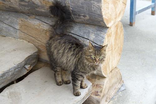 Petsamo, luostarin kissa