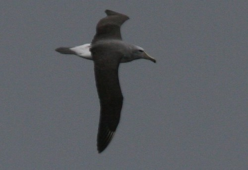 Shy Albatross Pelagic birding with Nature Expeditions in Peru
