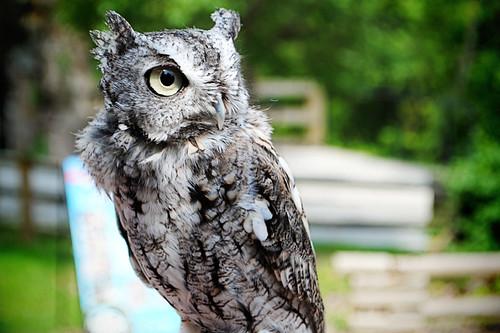 Screech owl 72