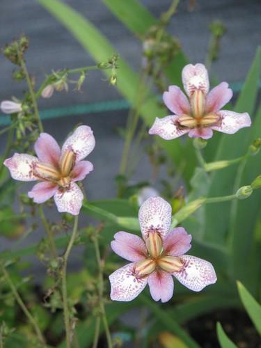Iris dichotoma