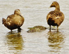 Female eider ducks at Newburgh beach