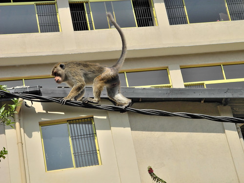Monkey in Kandy  (by Queenie)