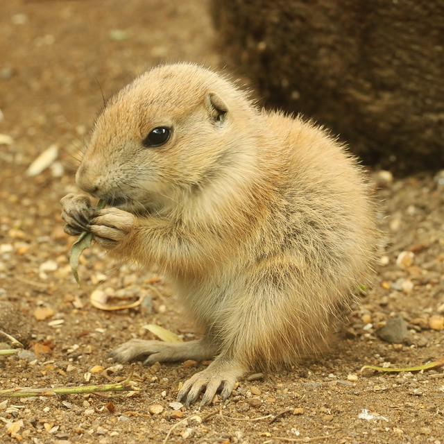 Prairie Dog Baby | Flickr - Photo Sharing!