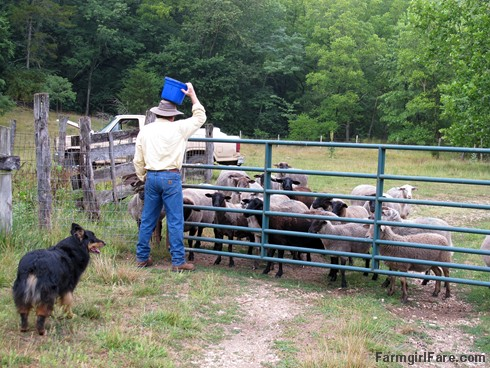 (5) Using the old 'hide the treat bucket on the head' trick to get past the sheep - FarmgirlFare.com