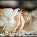 "harmit Crab (called as ""BAEAVELI"" in maldivian language by shaad'sphotography"