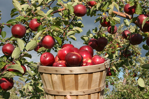Apple Barrel, Davis Farm and MegaMaze, Sterling, Credit: Davis Farmland