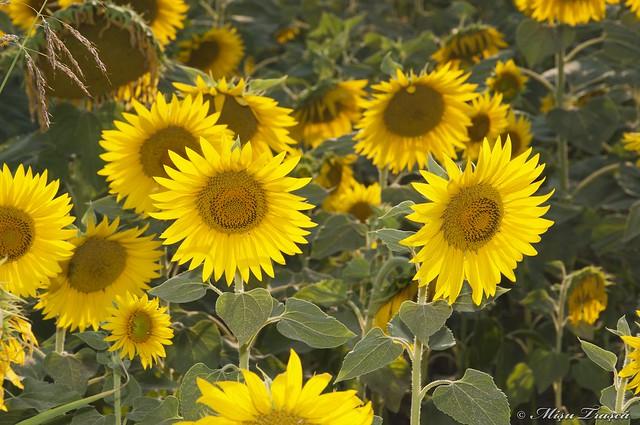 Floarea soarelui / sunflower