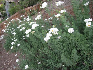Matilija poppies in May 2012